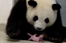 [Video] Đức lần đầu nhân giống thành công loài gấu trúc