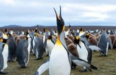 [Video] Cảnh tượng đông đúc và ồn ào mùa chim cánh cụt sinh sản