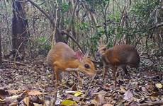 [Video] Phát hiện hươu chuột-bước tiến trong nỗ lực bảo tồn ở Việt Nam