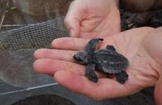 [Video] Người dân và du khách Guatemala thả rùa quý về biển