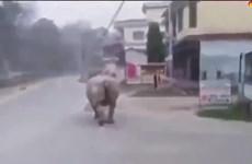 [Video] Tê giác ở Nepal 'yêu cầu' người dân ở nhà giữa dịch COVID-19