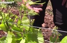 Lò rượu Pháp cho khách thử trực tuyến để bán hàng giữa dịch COVID-19