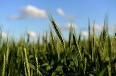 Argentina: Quốc gia đầu tiên sản xuất và tiêu thụ lúa mì biến đổi gen