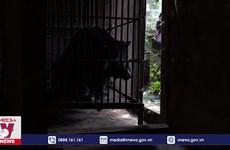 [Video] Nhiều cá thể gấu đang bị nuôi nhốt để lấy mật