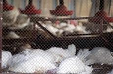 Anh phát hiện ổ dịch cúm gia cầm H5N8 tại một trang trại gà tây