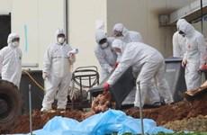 Hàn Quốc phát hiện thêm hai ca nhiễm cúm gia cầm độc lực cao