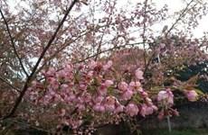 Ngập tràn sắc hoa đầu Xuân trên cao nguyên Mộc Châu