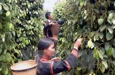 VietABank dành 500 tỷ đồng hỗ trợ người dân Đắk Nông trồng hồ tiêu