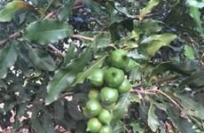 LienVietPostBank dành 3.000 tỷ đồng phát triển cây mắcca