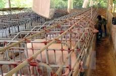 LienVietPostBank dành 500 tỷ đồng giải cứu đàn lợn cho nông dân