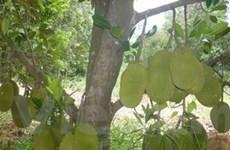 Một cây mít ở Kiên Giang cho tới 350 quả