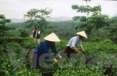 Nghệ An: Mở rộng vùng chè chất lượng cao