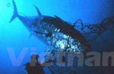 EU tăng cường bảo vệ cá ngừ Đại Tây Dương