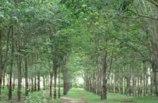 Trồng 10.000ha cây cao su tại tỉnh Phú Thọ