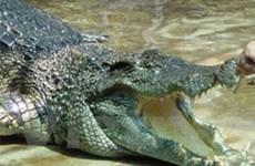 Cần Thơ: Cá sấu sổng chuồng tấn công người