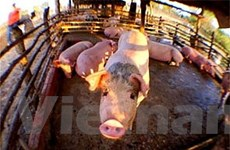 WHO kêu gọi giám sát chặt các trại nuôi lợn