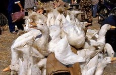 FAO hỗ trợ Nam Định phòng chống cúm gia cầm