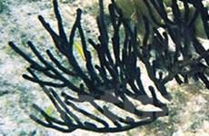 Tiền Giang: Tịch thu hơn 1,2 tấn san hô đen