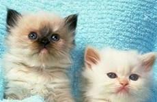 Mối liên hệ giữa viêm sắc tố võng mạc ở người và mèo