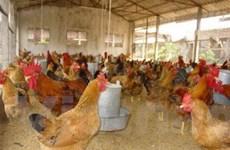 Quảng Ninh công bố hết dịch cúm gia cầm
