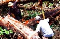Lâm tặc tàn phá rừng nghiến Bắc Kạn