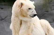 """''Cụ'' gấu Bắc cực về """"suối vàng"""""""
