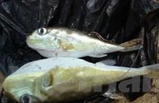 Kiên Giang bắt vụ vận chuyển cá nóc độc hại