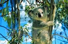 Gấu Koala nhiễm virus giống HIV ở người