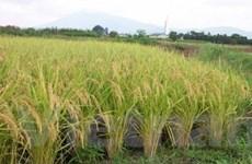 Đồng Tháp phấn đấu sản xuất 2,5 triệu tấn lúa