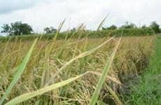 Sản xuất thành công giống lúa mới thay IR 50404
