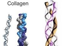 Triển vọng chữa trị bệnh tim từ collagen