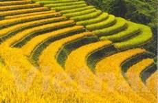 Công nghệ quang hợp giúp tăng năng suất lúa