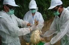 Hà Nội: Diễn tập phòng chống dịch cúm gia cầm