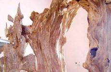 """Trầm hương - """"khắc tinh"""" của ung thư bàng quang"""