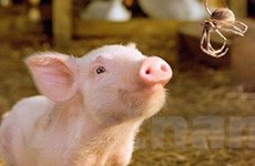 Dịch cúm lợn có nguy cơ lan rộng trên thế giới