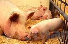 Philippines cấm nhập khẩu lợn của Mỹ, Mexico