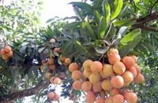 Ứng dụng ghép cây vải thiều cho quả sớm