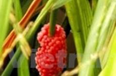 Ốc bươu vàng, rầy nâu hại lúa ở ĐBS Cửu Long