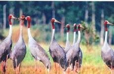 Sếu đầu đỏ về Tràm Chim tăng gấp ba