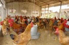 Tư nhân đầu tư gần 70 tỷ đồng nuôi gà sạch