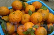 Thị trường cam quýt Hà Giang sôi động sớm