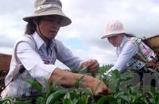 Nông dân trồng chè Lâm Đồng bị ép giá