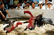 Công phu nghề chơi chọi gà ở đất Hà thành