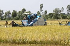 Nông dân tỉnh Bạc Liêu phấn khởi vì lúa được giá