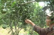Nhà vườn Tiền Giang trúng lớn vụ trái cây Tết
