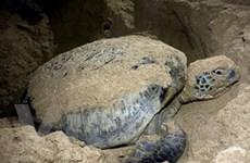 Phát động chiến dịch cùng bảo tồn rùa biển