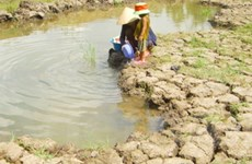 ĐBSCL: Nhiều hécta lúa nguy cơ nhiễm mặn nặng