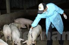 Dịch lợn tai xanh ngày càng lây lan ra diện rộng