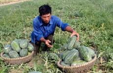 Trồng dưa hấu cho thu lãi gấp 5 lần trồng lúa