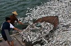 Cá nhiễm khuẩn bị chết hàng loạt tại Quảng Ninh